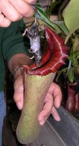 Plante carnivore phallique